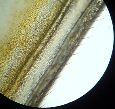 White Ant  Wing. Magnification - 100 Times.