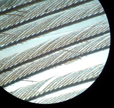 Bird's Feather -  Microscopic View.