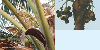Coconut flowers (left side) and Palmyra fruits.