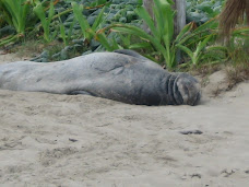 Chester, an Hawaiian monk seal on Kailua Beach