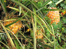'Ono ripe pineapples in the field