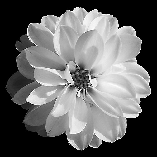 Black And White Flower Picture - Beautiful Flowers