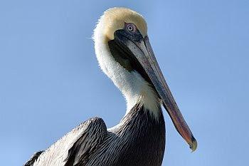 Brauner Pelikan (Pelecanus occidentalis) © Cornelia Schaible