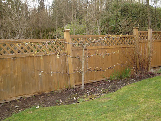 Multigraft espalier asian pear tree