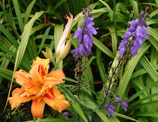 Daylily Kwanzo and Campanula