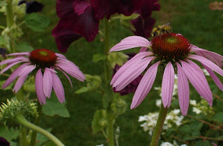 Bee on coneflower