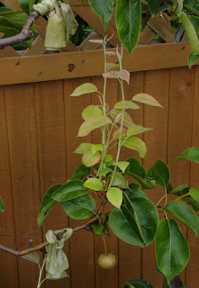 Espalier asian pear in need of a trim