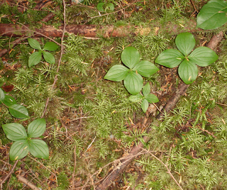 Cornus canadensis or Bunchberry