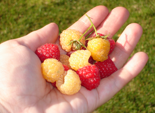 Happy handful of raspberries
