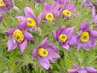 Pulsatilla in bloom