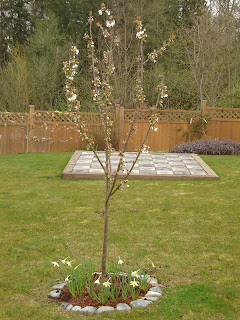 Rainier cherry starting to blossom