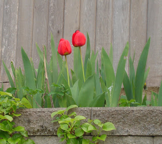 Tulips among iris greenery