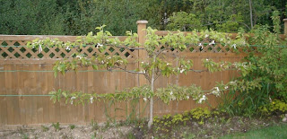 Espalier Asian Pear