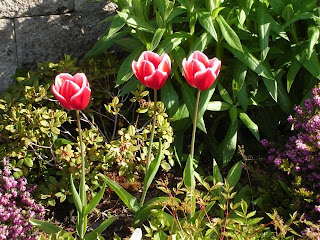 Beautiful tulips tucked in a garden
