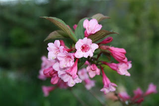 Weigela bloom closeup