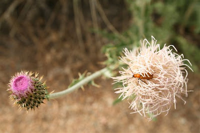 Thistle with beetle