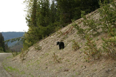 Black bear in Manning Park, BC