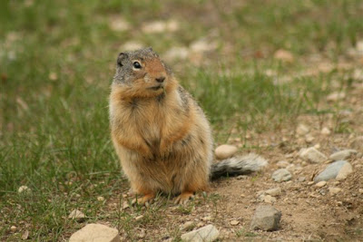 Columbian ground squirrel at Manning Park