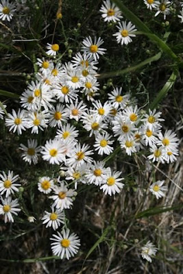 Thread-leaved daisy