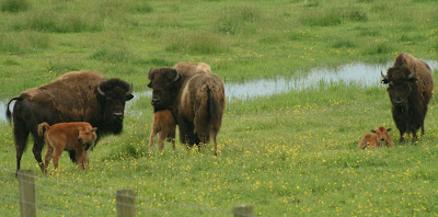 Bison moms and calves
