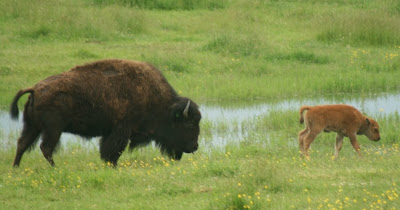Another bison with calf