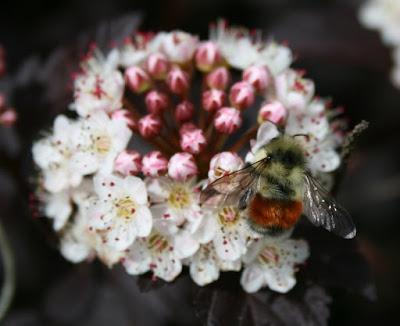 Bumblebee on Diablo ninebark