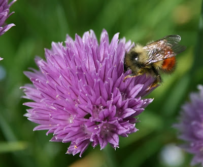 Bumblebee on chive flower