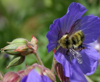 Bumblebee on geranium Victor Reiter