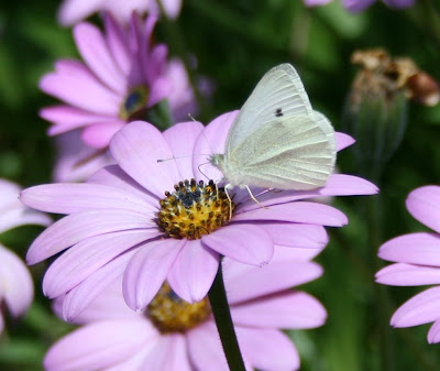 Butterfly on osteospermum flower