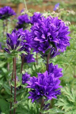 Campanula glomerata flowers