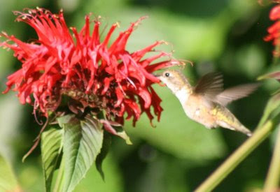 Hummingbird and red monarda