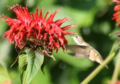 Hummingbird with monarda