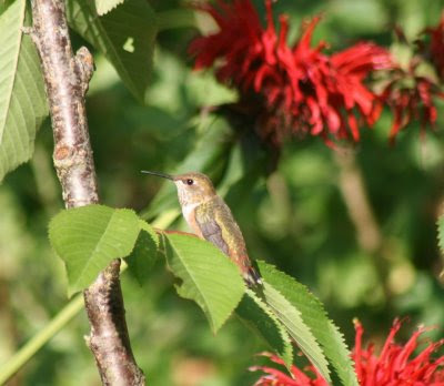 Hummingbird sitting in cherry tree