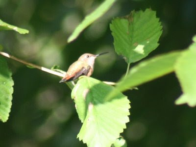 Hummingbird sitting