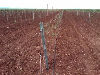 Plantación de olivar superintensivo con espaldera realizada con Tutorolivo 2,10 m