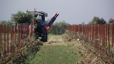 Plantación de olivar con tutor 1,70 m, sin espaldera