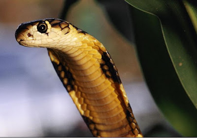 King+Cobra+Snakes+Desktop+for+Pc+Wallpapers