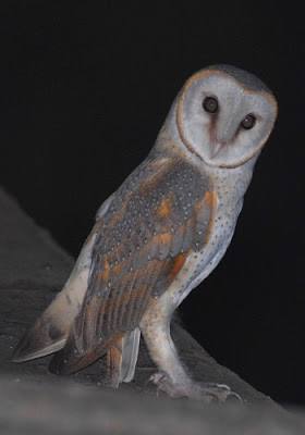 Introduction to Wild life: Barn Owl