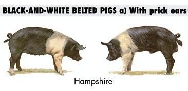 Cerdo y Cerda Hampshire para carnes de excelente calidad, rendimiento y poco PSE