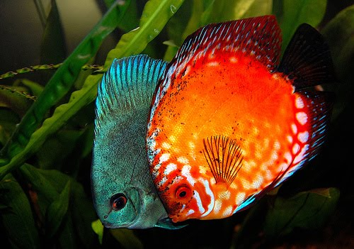 Discus Fish Info|The Ultimate Guide to Discus Fish care|Breeding