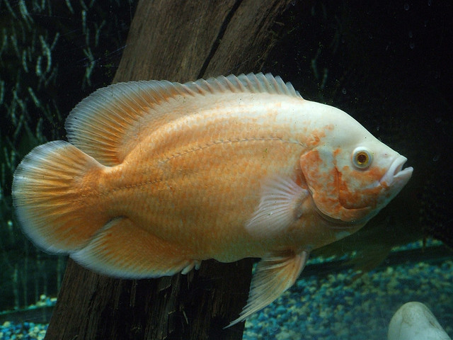 biggest hobby with Astronotus Ocellatus Oscar Fish Types on Ronnie Coleman Workout Olympia Mr Bodybuilder Build Muscle moreover 1 Acre Tiny Homestead Layouts further Amanda Seyfried I Nearly Became An Opera Singer 6994 besides Aircraft Manufacturers List also Model Train Layouts.