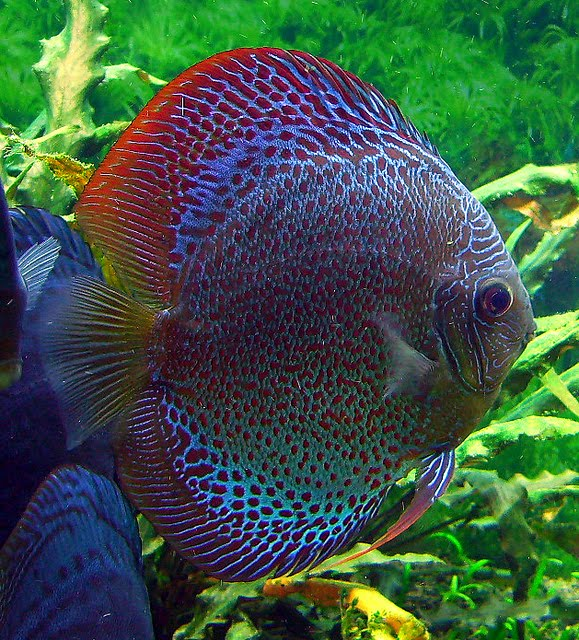 Discus kenny 39 s discus fish for sale 2017 fish tank for Discus fish types