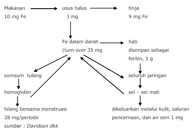 Proses Pencernaan Mekanik dan Kimiawi (Penjelasan Detail)