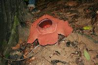 Rafflesia kerrii