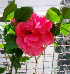 1º ROSA CHINA DOBLE - 3 DIC 2007