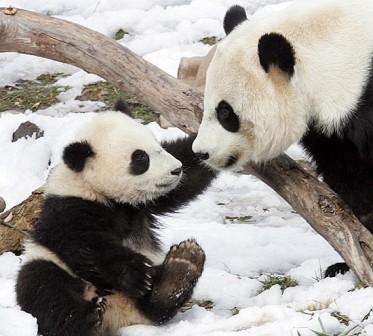 Pandas La Nación