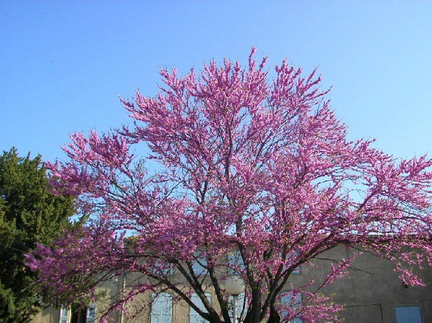 Juudaksenpuu