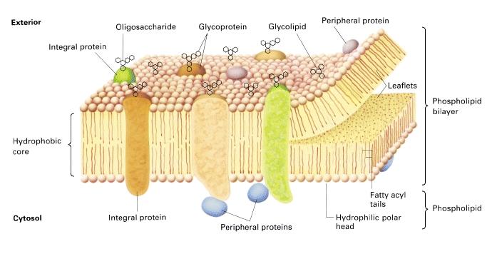 Biología Celular Membrana Plasmática Membrana Plasmática