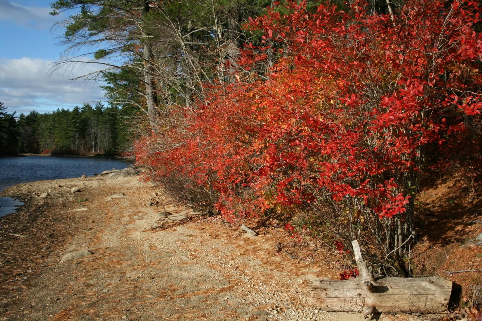 Spicebush Log Blueberry Bushes