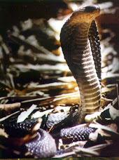 Cobra (Naja sputatrik)